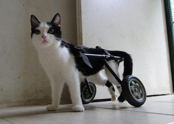 silla de ruedas gato