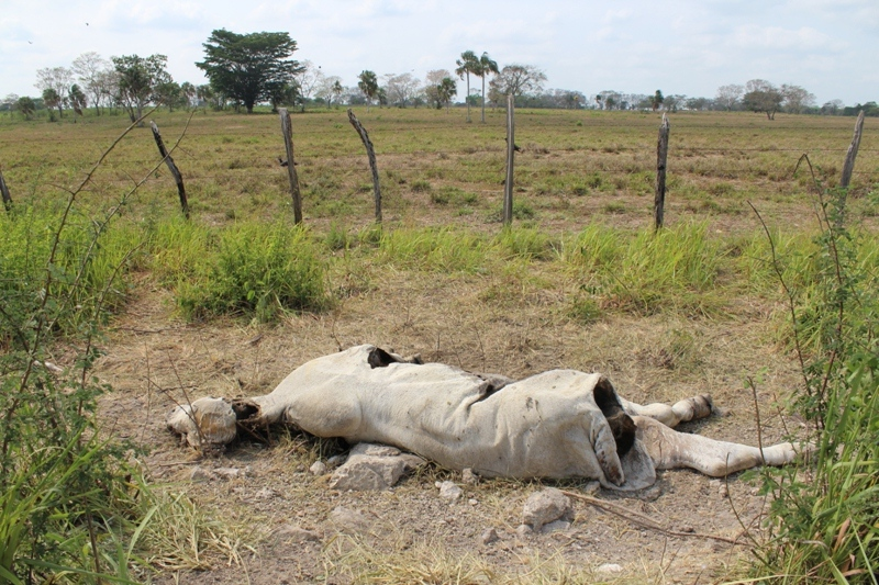 por sequía murieron al menos 2 500 reses